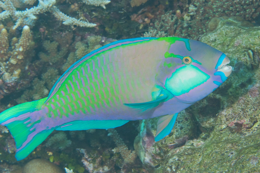 Bleeker's Parrotfish