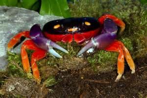 crab une