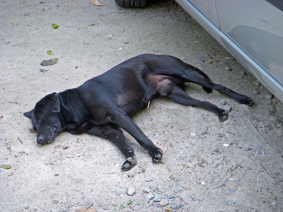 Dog sleeping at Prainha