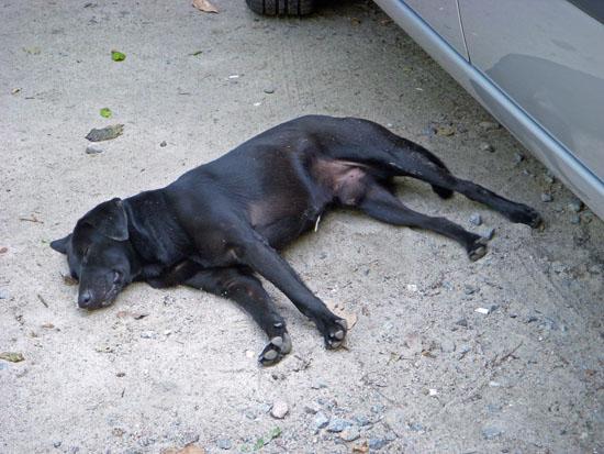 Dog sleeping at Prainha