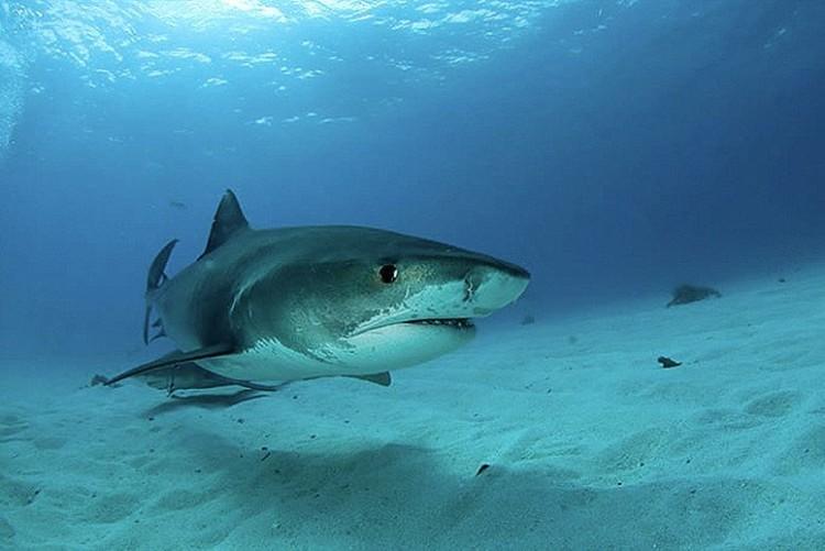 shark-pregnant